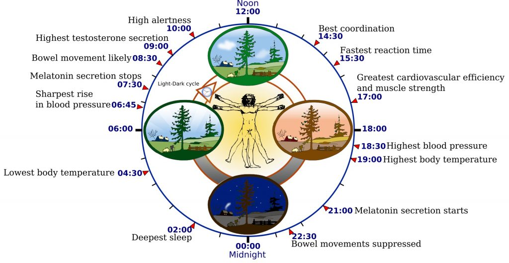 1920px-Biological_clock_human