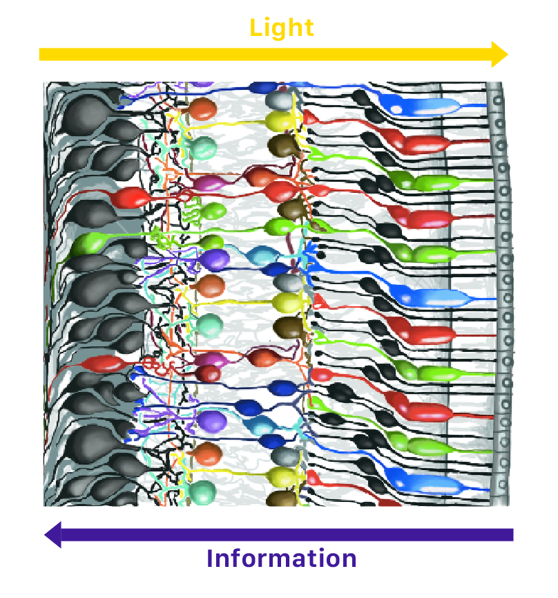 retina layers liberlight