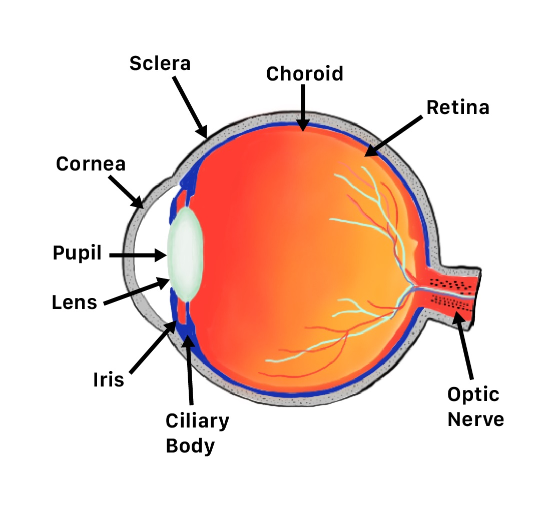 retina parts of the eye liberlight